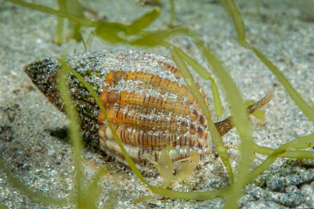 Gastéropode